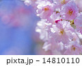 シダレザクラ 14810110