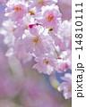 シダレザクラ 14810111