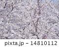 ソメイヨシノ 14810112