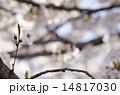一輪の桜 14817030