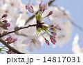 桜のつぼみ 14817031
