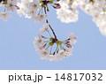 桜と青空 14817032