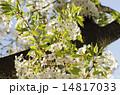 新緑の葉桜 14817033