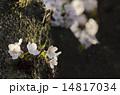 幹に咲く桜 14817034
