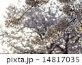 桜と西陽 14817035