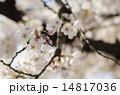 桜のつぼみ 14817036
