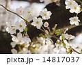 桜のつぼみ 14817037