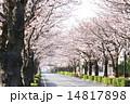 並木道 桜並木 ソメイヨシノの写真 14817898
