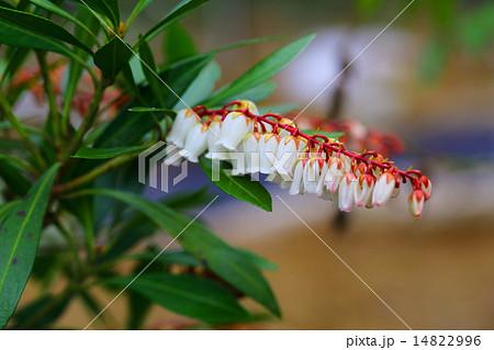 絶滅危惧植物 リュウキュウアセビ 絶滅危惧ⅠA類 (CR) 14822996