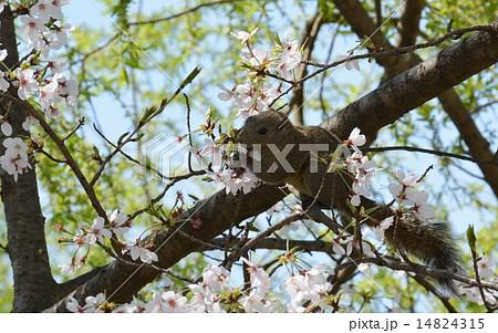 桜の花を食べるリス(鎌倉) 14824315