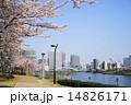隅田川テラス 染井吉野 隅田川の写真 14826171