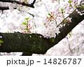 散り際の桜 14826787