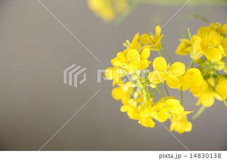 菜の花 14830138