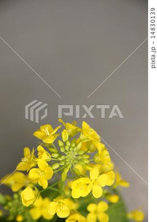 菜の花 14830139