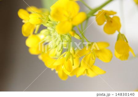 菜の花 14830140