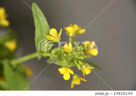 菜の花 14830144