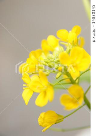 菜の花 14830145