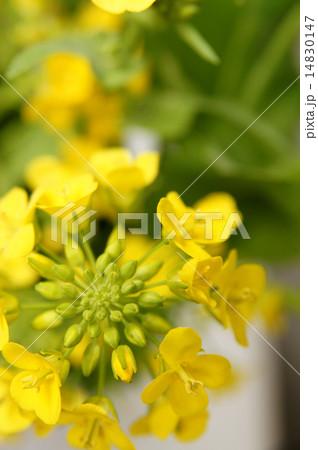 菜の花 14830147