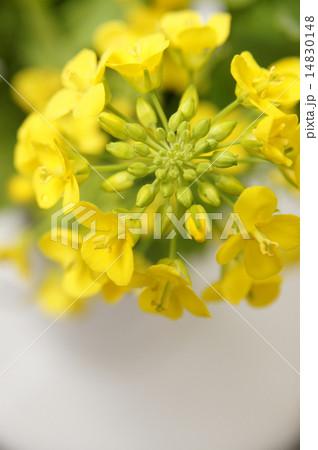 菜の花 14830148