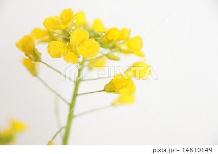 菜の花 14830149