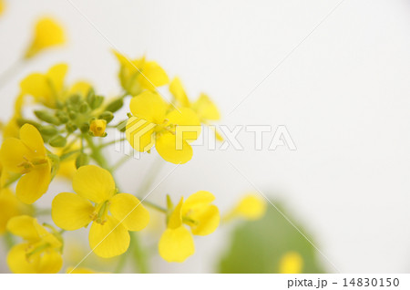 菜の花 14830150