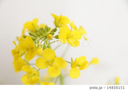 菜の花 14830151