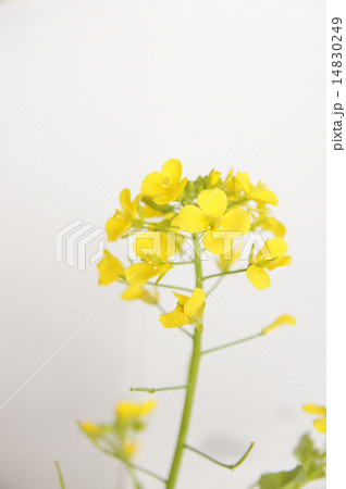 菜の花 14830249