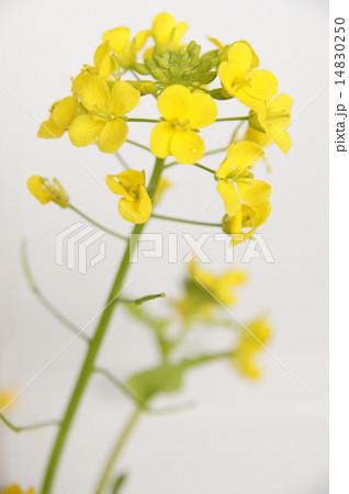 菜の花 14830250