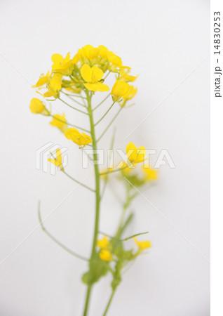 菜の花 14830253