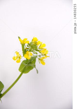 菜の花 14830255