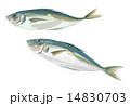 鯵 青魚 魚類のイラスト 14830703