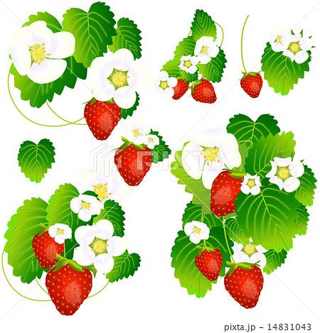 苺の実と花と葉のイラスト素材