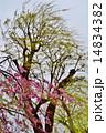 樹木 花 桜の写真 14834382