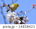 Japanese white-eye 14838421