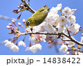 Japanese white-eye 14838422