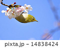 Japanese white-eye 14838424