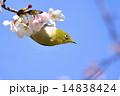 さくら サクラ 桜の写真 14838424