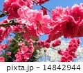 泉自然公園の桃色の綺麗なハナモモは満開です 14842944