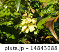 ヒイラギナンテンの黄色い花は春咲きます 14843688