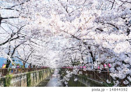 桜の名所・目黒川 14844392