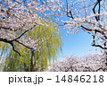 枝垂れ柳 染井吉野 桜の写真 14846218