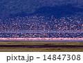 フラミンゴ コフラミンゴ 鳥類の写真 14847308