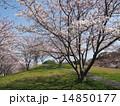 樹木 ソメイヨシノ 桜の写真 14850177