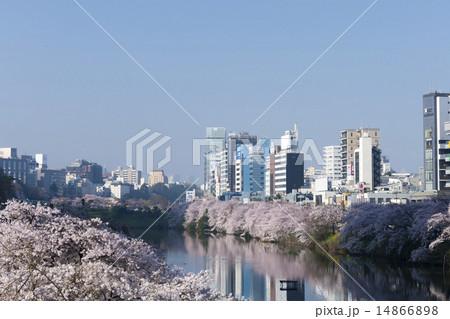 東京桜の名所 外壕公園 満開の染井吉野 快晴青空  飯田橋駅から 14866898