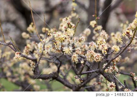 梅 品種(本黄梅) 14882152