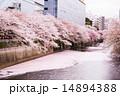 目黒川 花筏 満開の写真 14894388