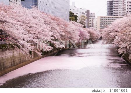 目黒川の桜 花筏 14894391
