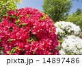 白をバックに赤いツツジの花 14897486