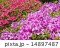 赤をバックに紫のツツジの花 14897487