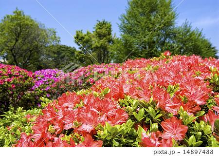 緑をバックに朱色のツツジの花 14897488